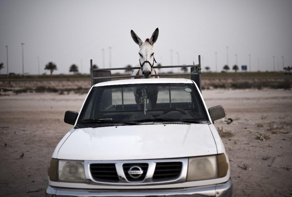 13.BAHRAJN, Saar, 10 maja 2014: Samochód zaparkowany obok toru wyścigowego dla osłów. AFP PHOTO / MOHAMMED AL-SHAIKH
