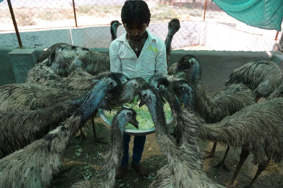 15.INDIE, Hathijan, 25 maja 2014: Weterynarz karmi emu mieszkające w schronisku dla zwierząt. AFP PHOTO / Sam PANTHAKY