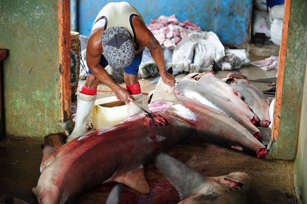 4.INDONEZJA, Banyuwangi, 25 maja 2014: Mężczyzna obcinający płetwy rekinów. (Foto: Robertus Pudyanto/Getty Images)