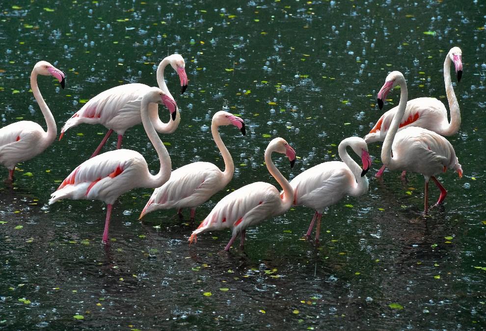 10.NIEMCY, Eberswalde, 10 czerwca 2014: Flamingi z miejskiego ogrodu zoologicznego. AFP PHOTO / DPA/ PATRICK PLEUL