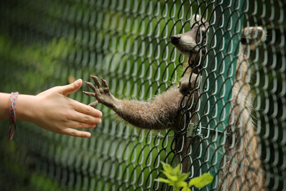 24.NIEMCY, Wiesbaden, 21 czerwca 2014:  Szop pracz sięgą łapką w kierunki dzieci odwiedzających ogród zoologiczny. AFP PHOTO / DPA/ FREDRIK VON ERICHSEN