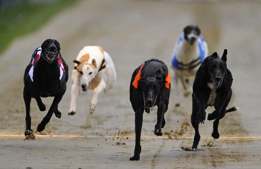 27.WIELKA BRYTANIA, Wimbledon, 31 maja 2014: Pięć psów ścigających się podacz gonitwy na torze Wimbledon. (Foto: Alan Crowhurst/Getty Images)