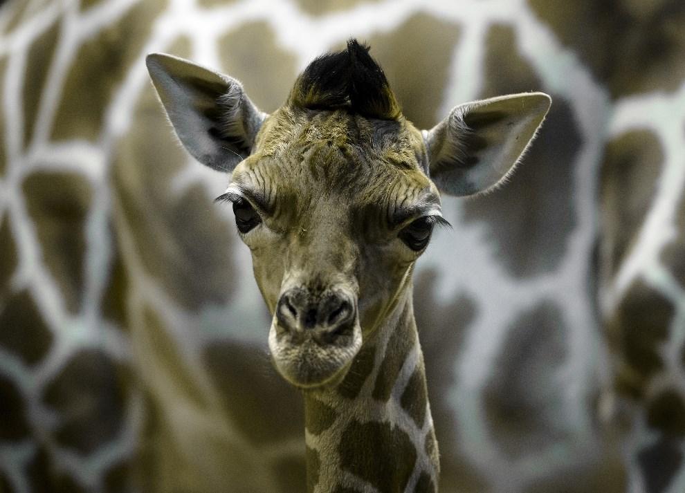 8.HISZPANIA, Madryt, 20 kwietnia 2014: Pięciodniowa żyrafa z miejskiego ogrodu zoologicznego, na tle matki. AFP PHOTO / DANI POZO