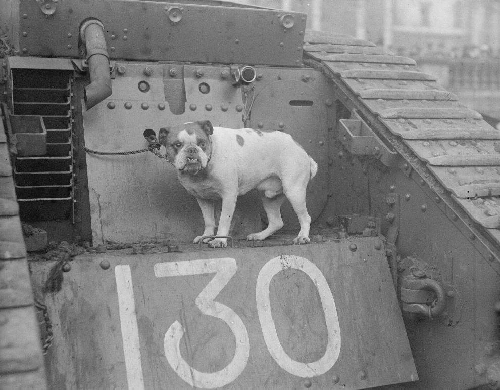 1.WIELKA BRYTANIA, Londyn, 26 listopada 1917: Buldog na czołgu podczas akcji sprzedaży pożyczek wojennych. (Foto: Topical Press Agency/Getty Images)