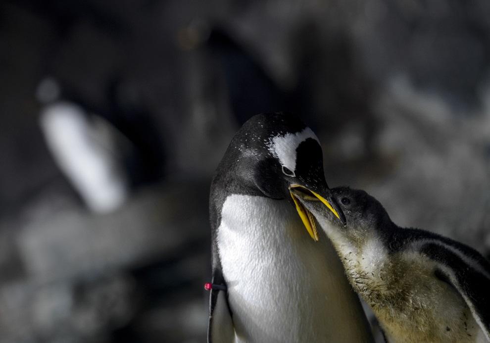 20.HISZPANIA, Madryt, 15 lipca 2014: Pingwin karmiący swoje młode. AFP PHOTO / DANI POZO