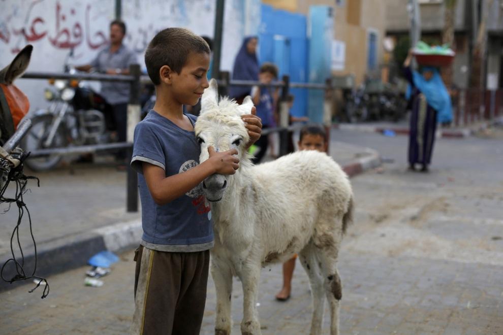 21.AUTONOMIA PALESTYŃSKA, Bajt Lahija, 16 lipca 2014: Palestyński chłopiec ze swoim osiołkiem. AFP PHOTO/MOHAMMED ABED