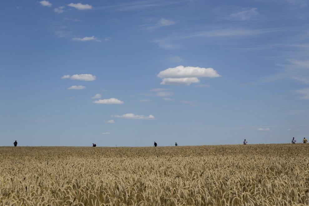 26.UKRAINA, Grabowo, 20 lipca 2014: Ochotnicy przeszukują pole w pobliżu miejsca, gdzie spadł zestrzelony samolot. (Foto: Rob Stothard/Getty Images)