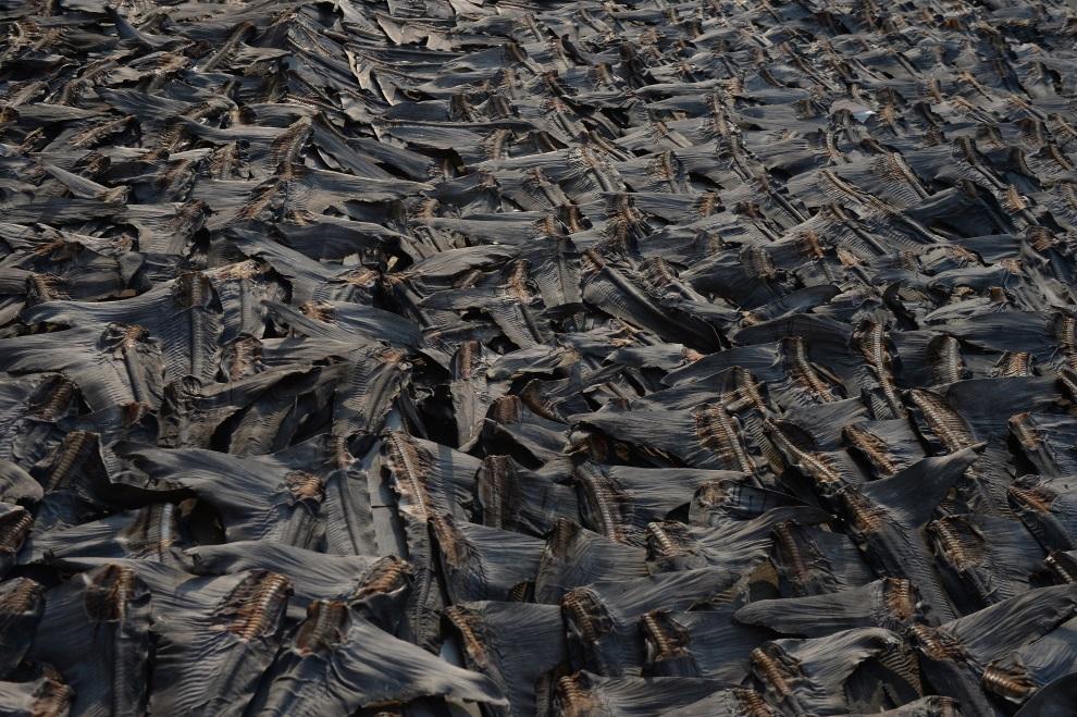 7.CHINY, Hongkong, 30 lipca 2014: Suszące się płetwy rekinów. AFP PHOTO / DALE DE LA REY