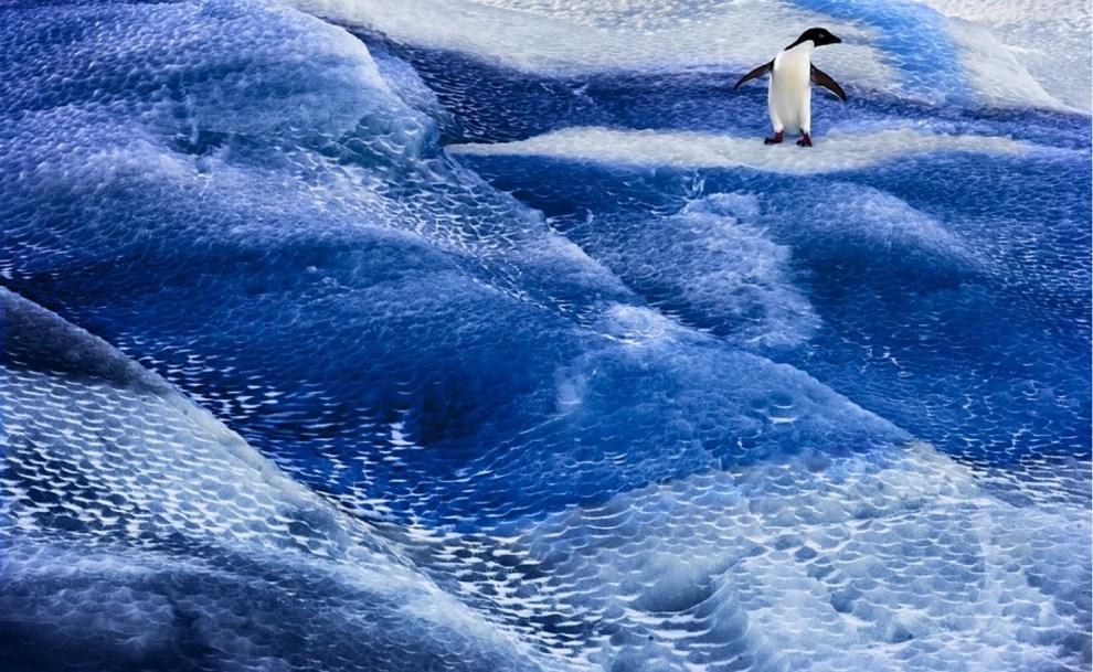 11.ANTARKTYDA, Morze Rossa: Niedatowane zdjęcie upublicznione w mijającym tygodniu przedstawia pingwina płynącego na krze lodowej. AFP PHOTO / Antarctic Ocean Alliance / John WELLER