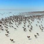 W kolonii flamingów