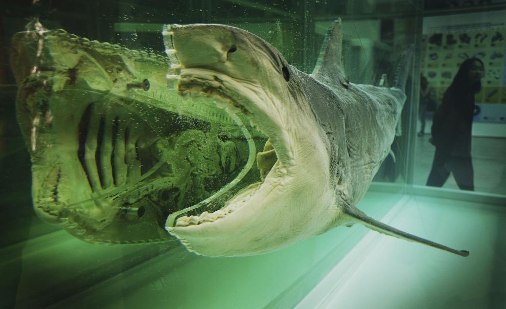虎鲨鱼卵结构图片
