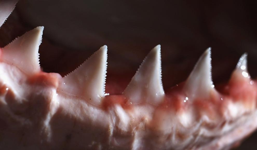 鲨鱼的牙齿是动物中最多的